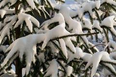 Rama de árbol en invierno con nieve Imagenes de archivo