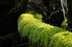 Rama de árbol en musgo en el bosque Imagen de archivo