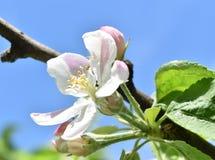 Rama de árbol florecida en un día soleado Fotos de archivo
