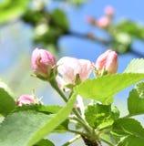 Rama de árbol florecida en un día soleado Imagen de archivo libre de regalías