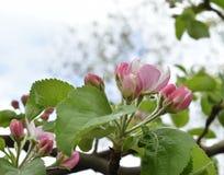 Rama de árbol florecida en un día soleado Fotos de archivo libres de regalías