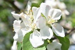 Rama de árbol florecida en un día soleado Imagenes de archivo