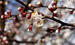 Rama de árbol floreciente blanca Imagen de archivo
