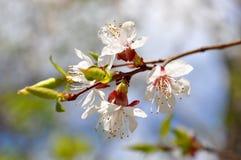 Rama de árbol floreciente blanca Foto de archivo libre de regalías