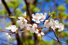 Rama de árbol floreciente blanca hermosa Fotos de archivo libres de regalías