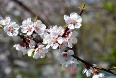 Rama de árbol floreciente blanca hermosa Foto de archivo