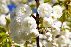 Rama de árbol floreciente blanca - tiempo de primavera Imagenes de archivo