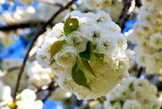Rama de árbol floreciente blanca - tiempo de primavera Foto de archivo libre de regalías