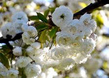Rama de árbol floreciente blanca - tiempo de primavera Fotografía de archivo libre de regalías