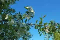 Rama de árbol floreciente con la abeja y el aeroplano Fotografía de archivo libre de regalías