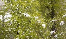Rama de árbol floreciente con nieve fresca del follaje Fotografía de archivo
