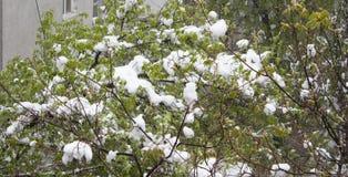 Rama de árbol floreciente con nieve fresca del follaje Imágenes de archivo libres de regalías