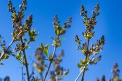 Rama de árbol floreciente contra un cielo azul claro en un soleado Imagen de archivo libre de regalías