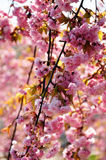 Rama de árbol floreciente de la cereza rosada hermosa Imagen de archivo
