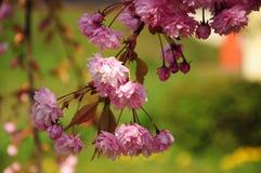 Rama de árbol floreciente de la cereza rosada hermosa Fotos de archivo