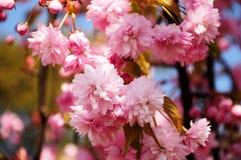 Rama de árbol floreciente de la cereza rosada hermosa Fotografía de archivo