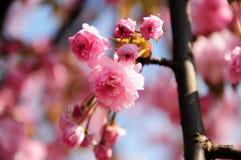 Rama de árbol floreciente de la cereza rosada hermosa Foto de archivo libre de regalías