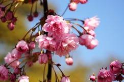 Rama de árbol floreciente de la cereza rosada hermosa Imágenes de archivo libres de regalías