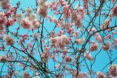 Rama de árbol floreciente de la primavera Imagenes de archivo