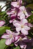 Rama de árbol floreciente Imagenes de archivo