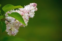 Rama de árbol floreciente de la lila con el foco selectivo Fotografía de archivo libre de regalías