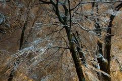 Rama de árbol grande en parque iluminado del invierno de la noche Foto de archivo libre de regalías