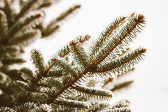 Rama de árbol de la picea en invierno fotos de archivo