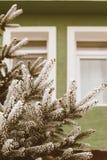 Rama de árbol de la picea en invierno fotografía de archivo