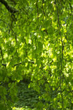Rama de árbol larga, flexible Imágenes de archivo libres de regalías