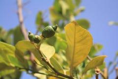 Rama de árbol de limón con verde poca fruta bajo luz del sol Foto del primer imagen de archivo libre de regalías