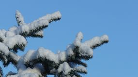 Rama de árbol nevada de pino contra un cielo azul claro imagen de archivo libre de regalías