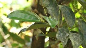 Rama de árbol de pimienta que es sostenida y manejada metrajes