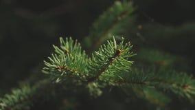 Rama de árbol de pino con los conos en fondo macro de la naturaleza del bosque verde almacen de video