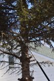 Rama de árbol de pino en vías de ser cortado Imagen de archivo libre de regalías