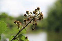 Rama de árbol seca de la zarzamora aislada con un fondo del lago Imagenes de archivo