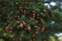 Rama de árbol Spruce con los conos Imagenes de archivo