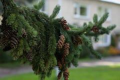 Rama de árbol Spruce con los conos Imagen de archivo libre de regalías