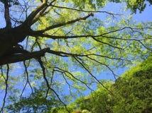 Rama de árbol verde contra el cielo azul Fotos de archivo