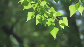 Rama de árbol verde en una naturaleza blanca del fondo la luz del sol deja los árboles que sacuden forma de vida en el vídeo de l metrajes