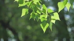 Rama de árbol verde en una naturaleza blanca del fondo la luz del sol deja los árboles que se sacuden en el vídeo de la cámara le almacen de video