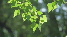 Rama de árbol verde en una naturaleza blanca del fondo la luz del sol deja los árboles que se sacuden en el vídeo de la cámara le almacen de metraje de vídeo