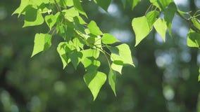 Rama de árbol verde en una naturaleza blanca del fondo la luz del sol deja los árboles que se sacuden en el vídeo de la cámara le metrajes