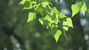 Rama de árbol verde en una naturaleza blanca del fondo la luz del sol deja los árboles que se sacuden en el vídeo de la forma de  almacen de metraje de vídeo