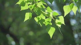 Rama de árbol verde en una naturaleza blanca del fondo la luz del sol deja los árboles que se sacuden en el vídeo de movimiento l almacen de metraje de vídeo