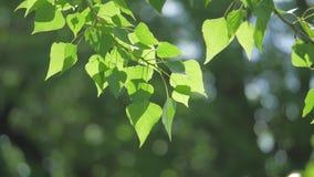 Rama de árbol verde en una naturaleza blanca del fondo la luz del sol deja los árboles que se sacuden en la forma de vida del víd almacen de video