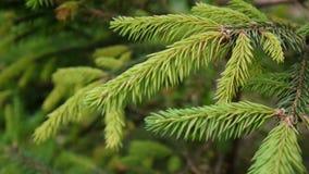 Rama de árbol verde joven de abeto que se mueve en la brisa del viento ligero primer almacen de video
