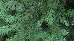 Rama de árbol verde joven de abeto que se mueve en la brisa del viento ligero primer metrajes