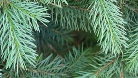 Rama de árbol verde joven de abeto que se mueve en la brisa del viento ligero primer Marco decorativo natural Parásitos atmosféri metrajes