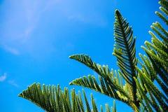 Rama de árbol verde de pino con el fondo del cielo azul Imagen de archivo libre de regalías