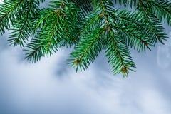 Rama de árbol verde de pino en el fondo blanco imagenes de archivo